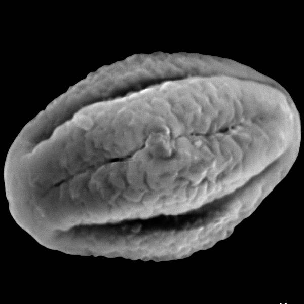 Pollen grain of Tournefortia rufo-sericea Hook. f. (scanning electron micrograph). Photo: Patricia Jaramillo Díaz & M. Mar Trigo, CDF, 2011.