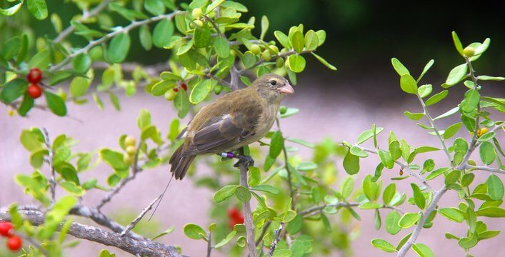 Eight Mangrove Finches Returned Home