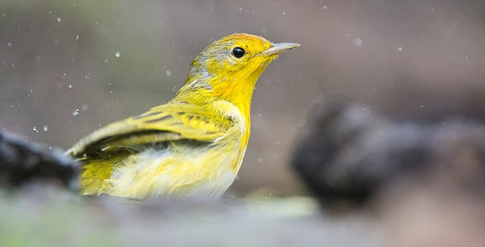 Visitors and residents can contribute sightings of birds such as the Yellow Warbler with the BirdsEye app.