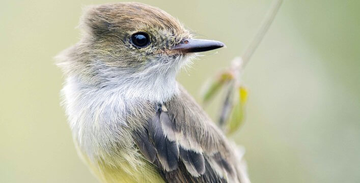 Flycatcher.