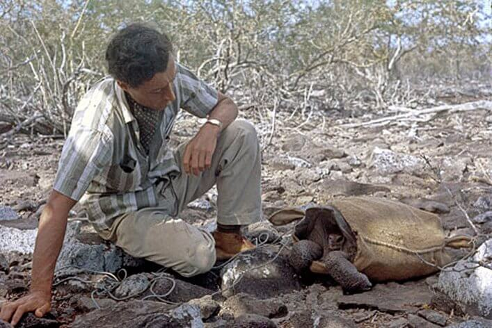 Roger Perry preparing to transport, in May 1968, one of the 14 remaining tortoises (a female) from Española to a breeding center on Santa Cruz. Photograph by Tjitte de Vries.