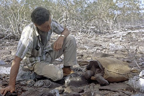 Roger Perry preparing to transport, in May 1968, one of the 14 remaining tortoises (a female) from Española to a breeding center on Santa Cruz.