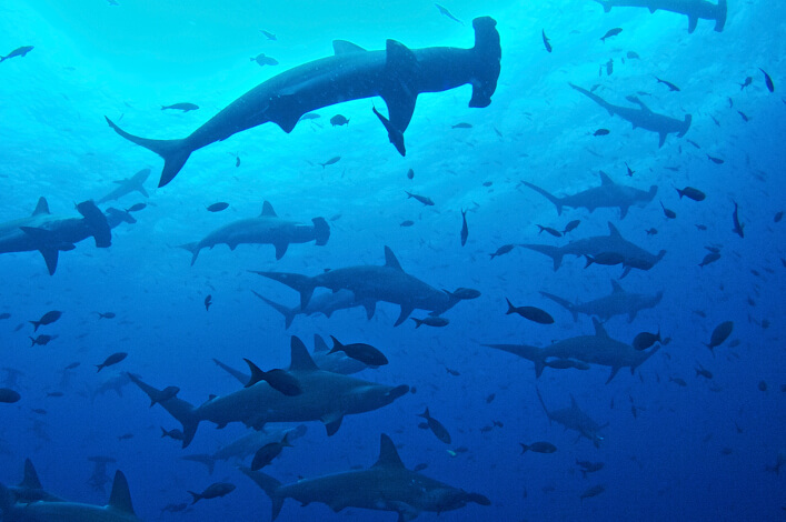 Darwin and Wolf Marine Sanctuary is Home to the Greatest Shark Biomass in the World