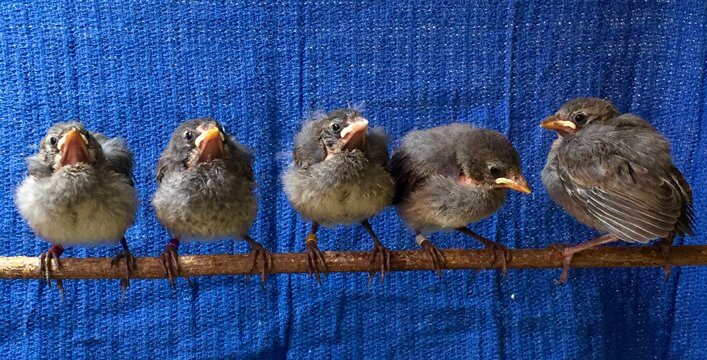 Mangrove Finches fledglings at CDRS.