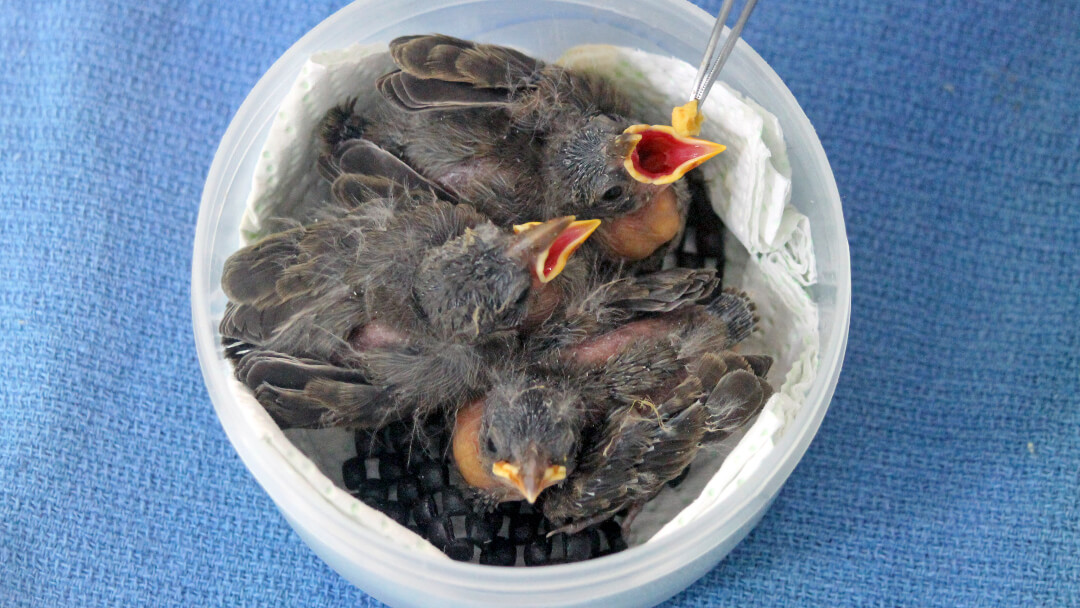 Mangrove Finches fledglings during feeding at CDRS.