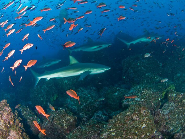 School of Galapagos Sharks.