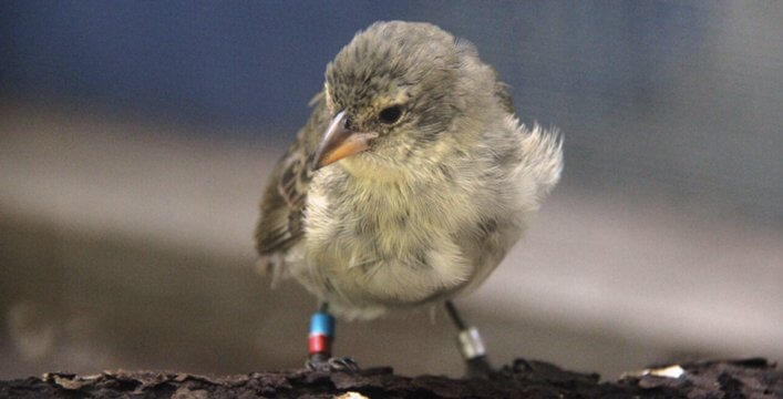 Third Group of Captive-Reared Mangrove Finch Fledglings Return to Isabela Island