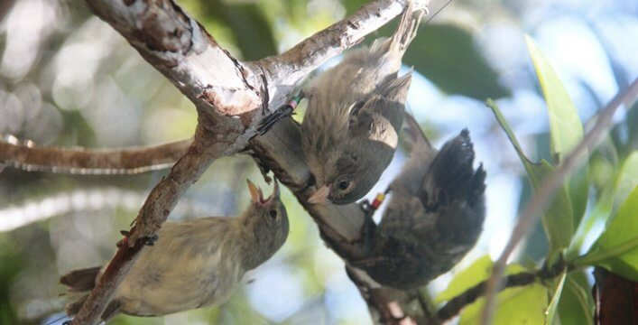 Mangrove Finch fledglings raised at CDRS re-adapting back to the wild.