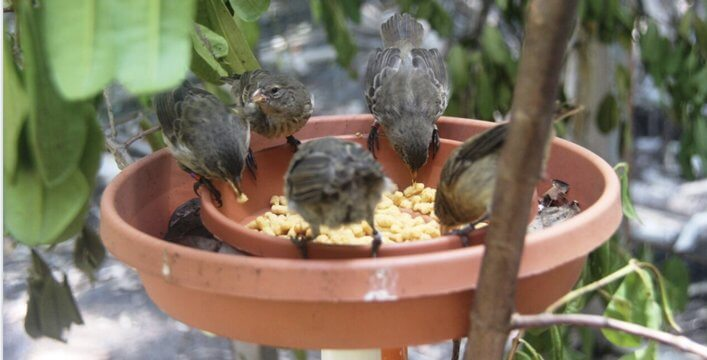 Mangrove Finches feeding in the aviary.