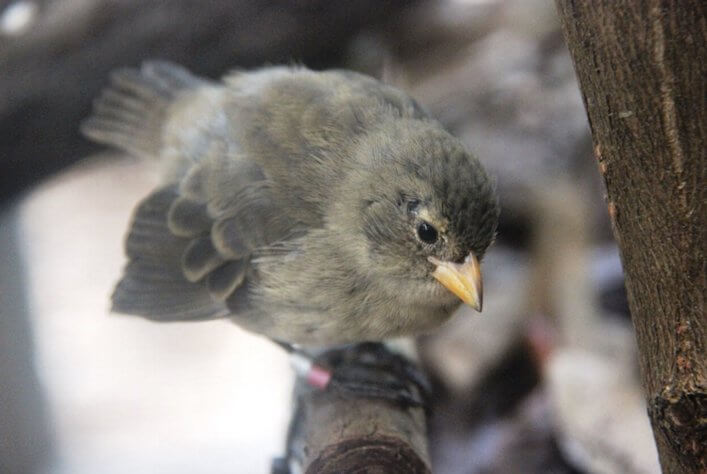 Mangrove Finch fledgling back on Isabela Island.