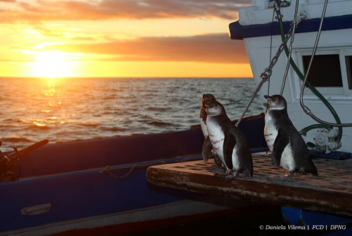 Penguins released after the respective tagging and sampling on board.