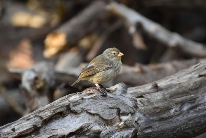 Re-sightings of Captive-bred Mangrove Finches