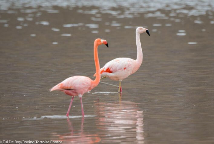 First Record of the Chilean Flamingo in Galápagos