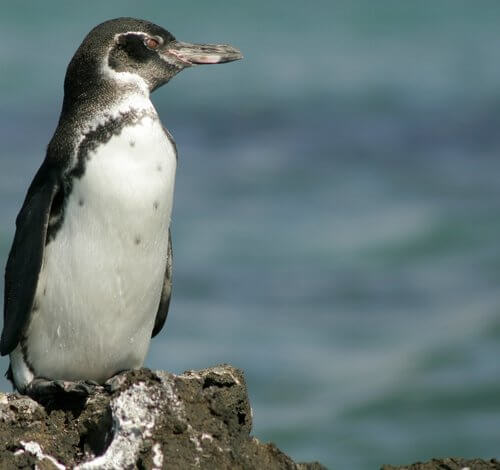 The Galapagos penguins with their two and a half kilos are great divers. They have been registered up to 50 meters deep.
