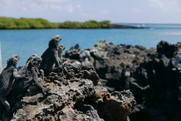 "In ""Las Tintoreras"", in front of the island of Isabela, you will find a great community of marine iguanas. These usually sunbathe in groups and then go for a swim along the banks."