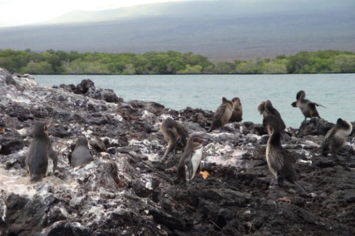 Penguins and cormorants living in peace on the shores of Isabela Island.