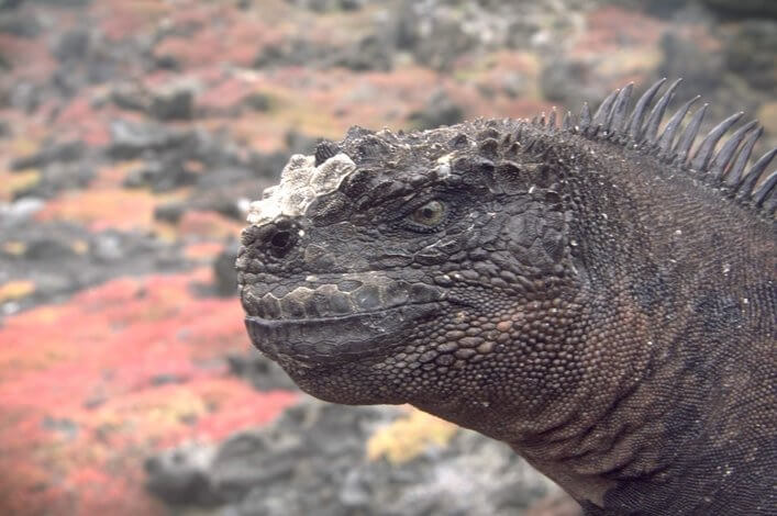 Five New Sub-Species of the Marine Iguana in Galapagos