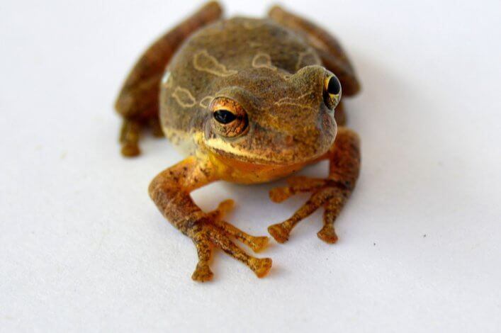 Researching the Introduced Fowler's Tree Frog In Santa Cruz Island