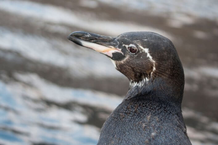 Can Rare Tropical Penguins Survive in the Galapagos?