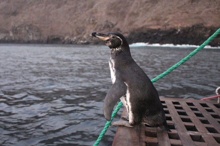 Galapagos penguin posing during the last monitoring developed by the Charles Darwin Foundation (CDF) and the Galapagos National Park Directorate (GNPD) in 2016.