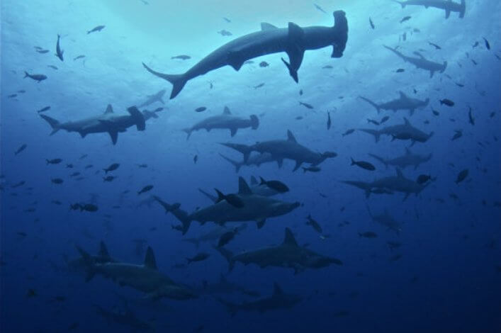 Large schools of endangered scalloped hammerhead sharks are a common encounter in the Galapagos.