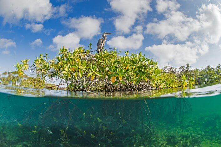 Galapagos mangroves create oases of life on an otherwise barren lava coastline.