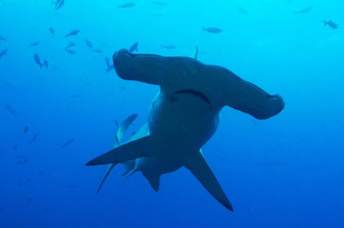 Hammerhead at the Darwin Arch in the Galapagos Islands.