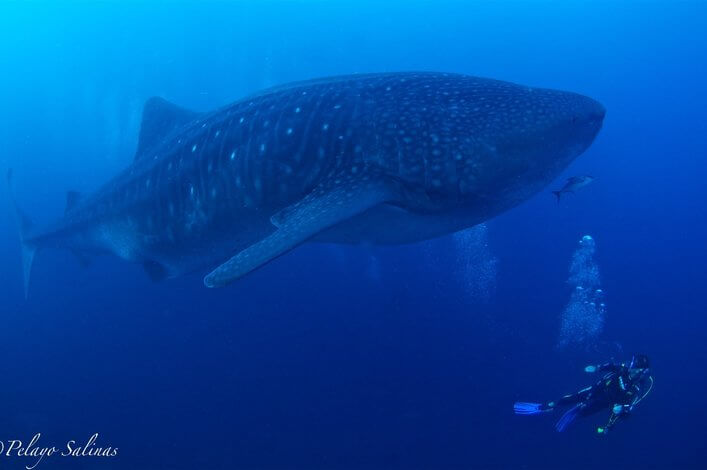 CDF scientist diving with a whale shark at the Darwin Arch in the Galapagos Islands.