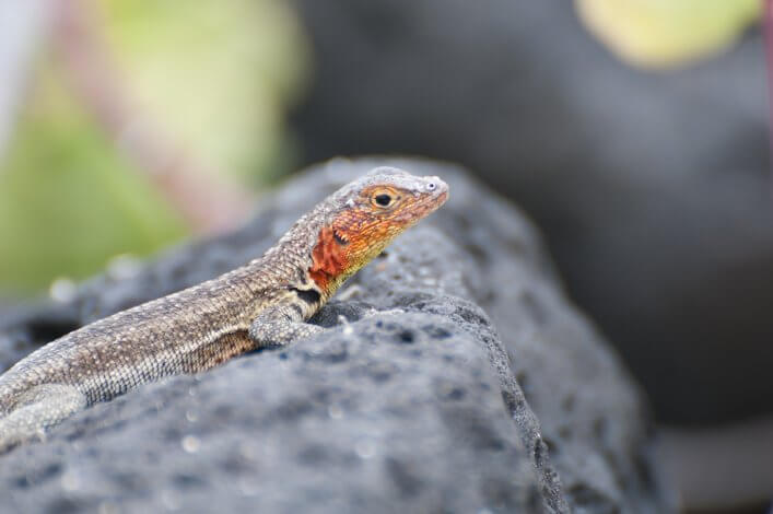Galapagos Lizard and Human Settlements Sharing Habitats