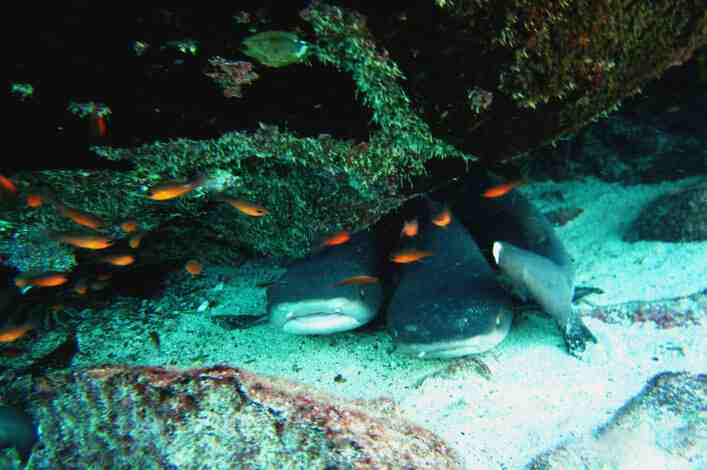 White-tips resting in caves at Punta Carrión while shark ambassadors were snorkeling.