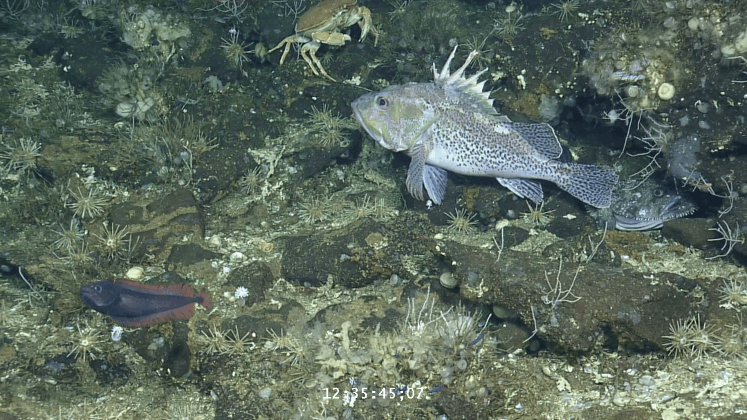 A mottled scorpionfish, or brujo (top right), drifts above the bottom in this video screen grab taken from the Alucia submersible.