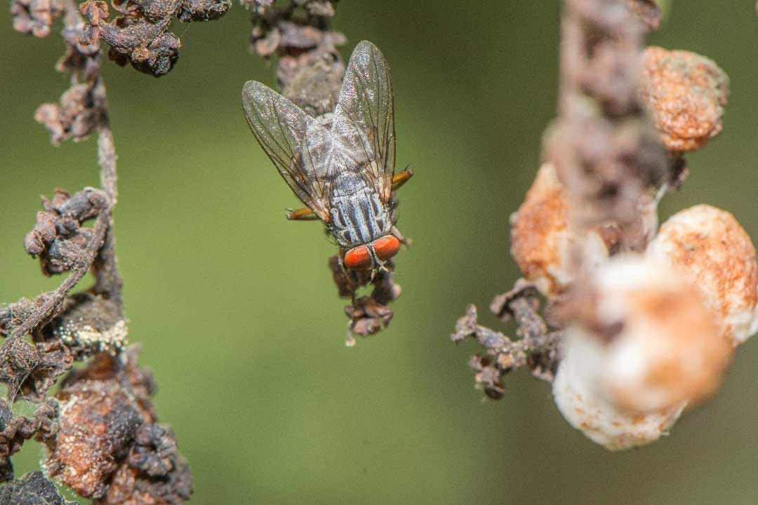 Philornis downsi, an invasive fly.