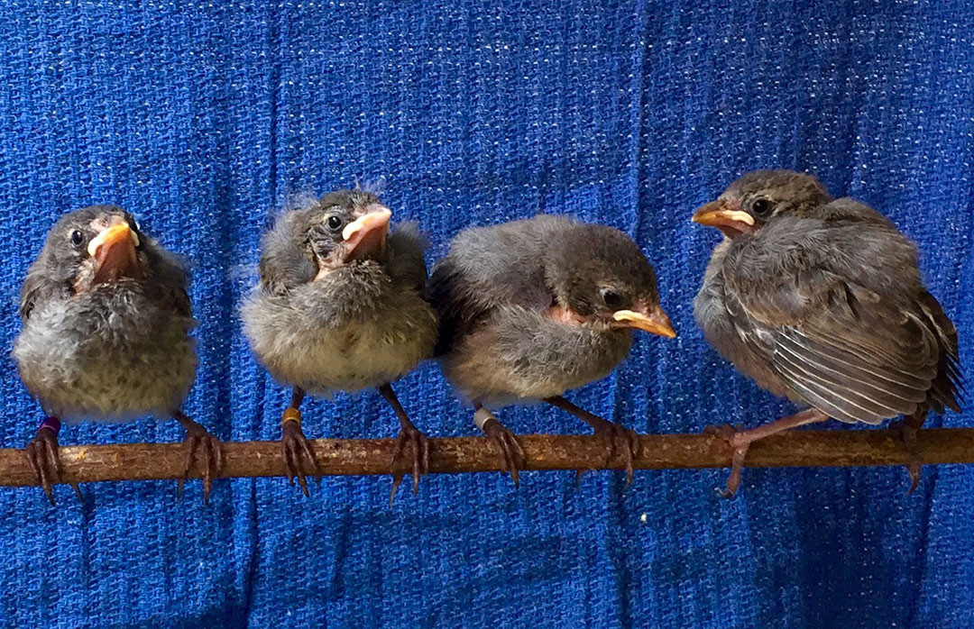 Young mangrove finches in the rearing facility at the Charles Darwin Research Station.