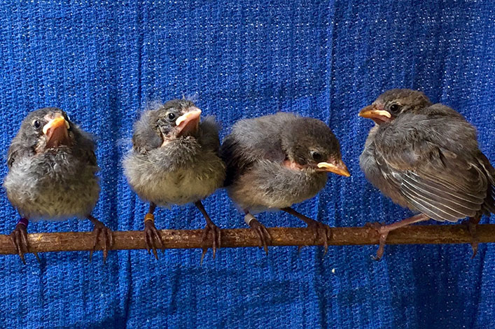 Hope for the Critically-Endangered Mangrove Finch