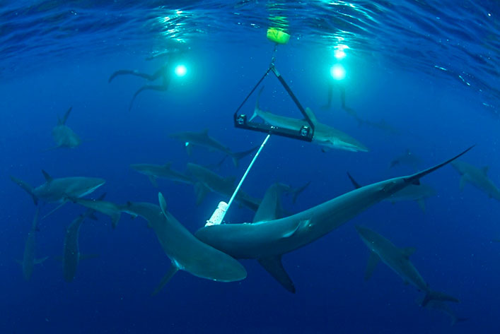 Silky sharks and a Galapagos shark around the camera system of stereo-BRUVs.