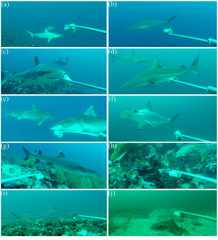 The eight most common shark species in the BRUVs: a) Bignose shark, b) Silky shark, c) Galapagos shark, d) Black tip shark, e) Tiger shark, f) Scalloped hammerhead shark, g) White tip shark, h) Galapagos bullhead shark, i) White-margin fin smooth-houndshark, j) Spotted houndshark.