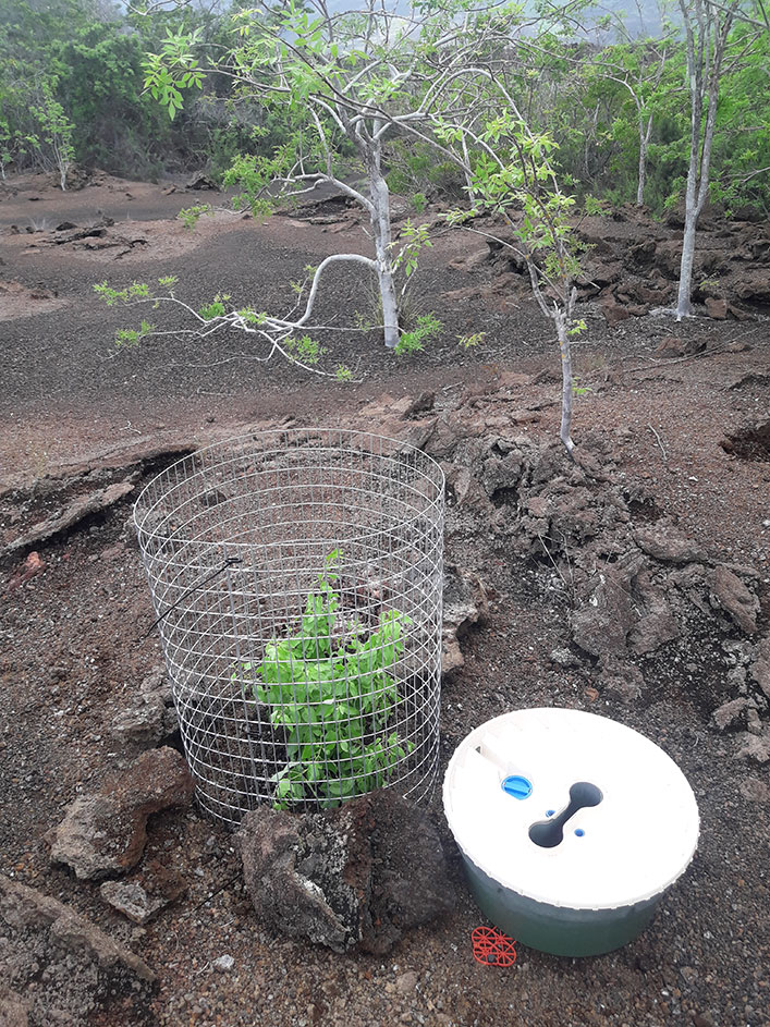 One of the five seedlings planted for the ecological restoration of G. leucantha var. leucantha, close to Playa Tortuga Negra, Northern Isabela.