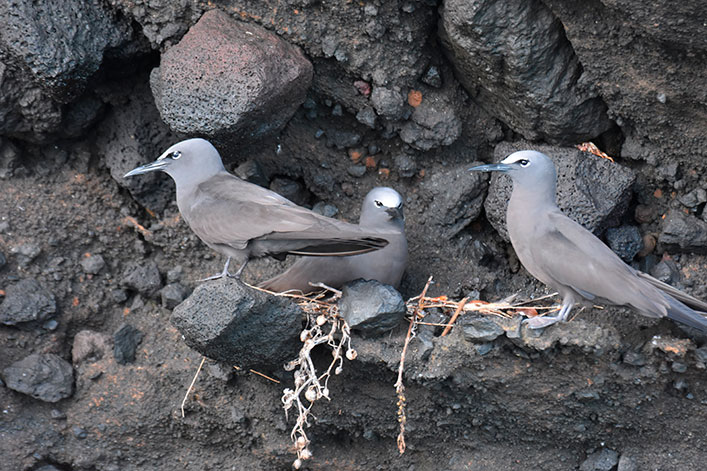 Brown noddy terns (Anous stolidus galapagensis) nesting with an egg, four meters from the collected nest.
