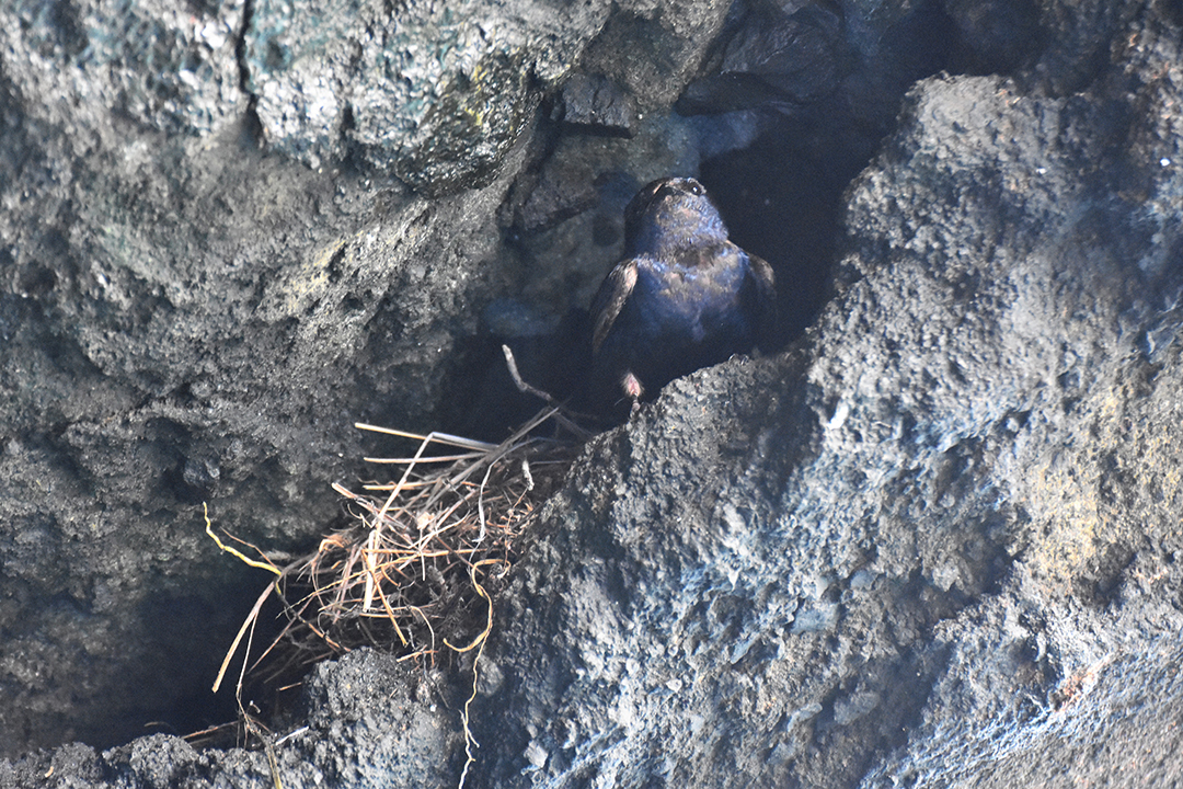 The Galapagos martin is an endangered endemic bird. This individual and its nest were observed on the 30th of April 2017.