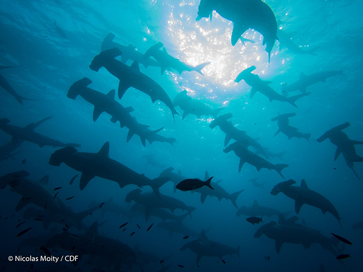 The excursion also took us to the remote islands of Darwin and Wolf, where we saw schools of hammerheads.