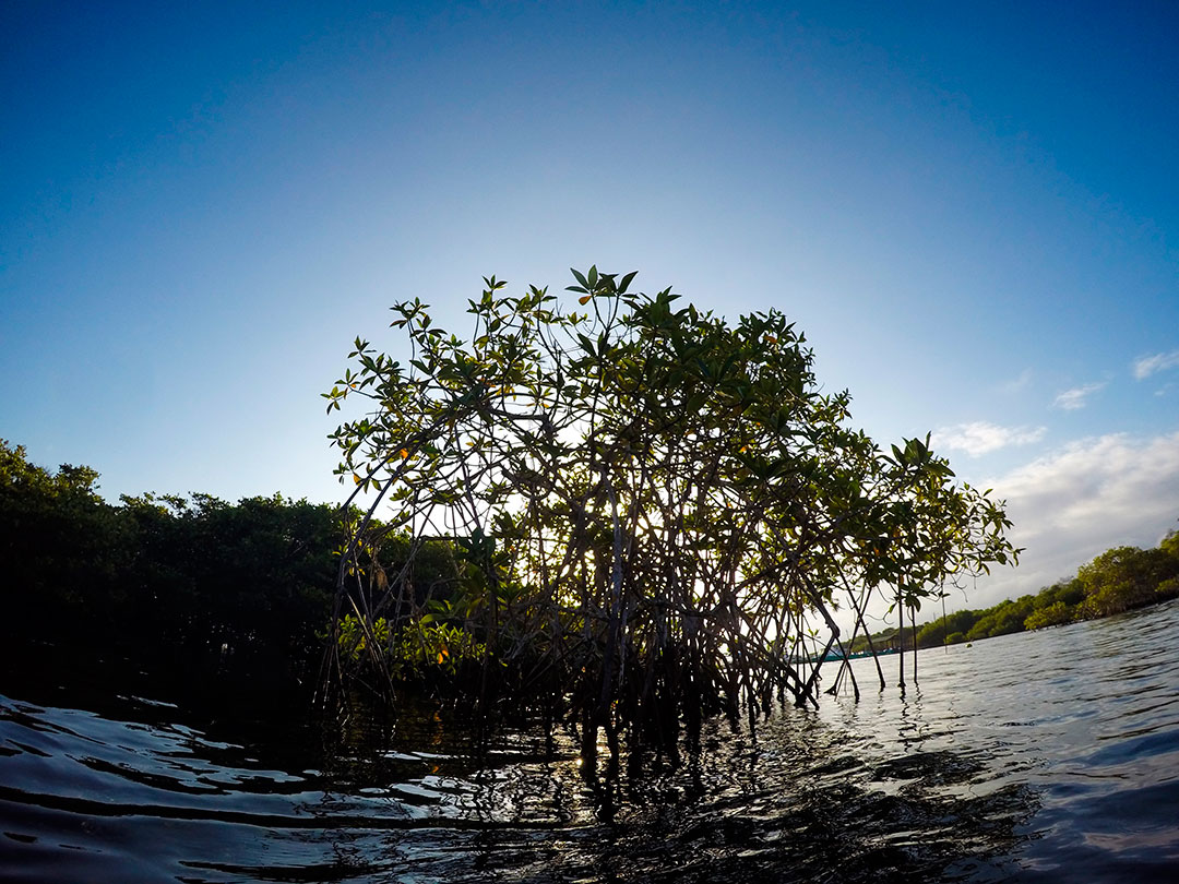 Mangroves in the Galapagos.