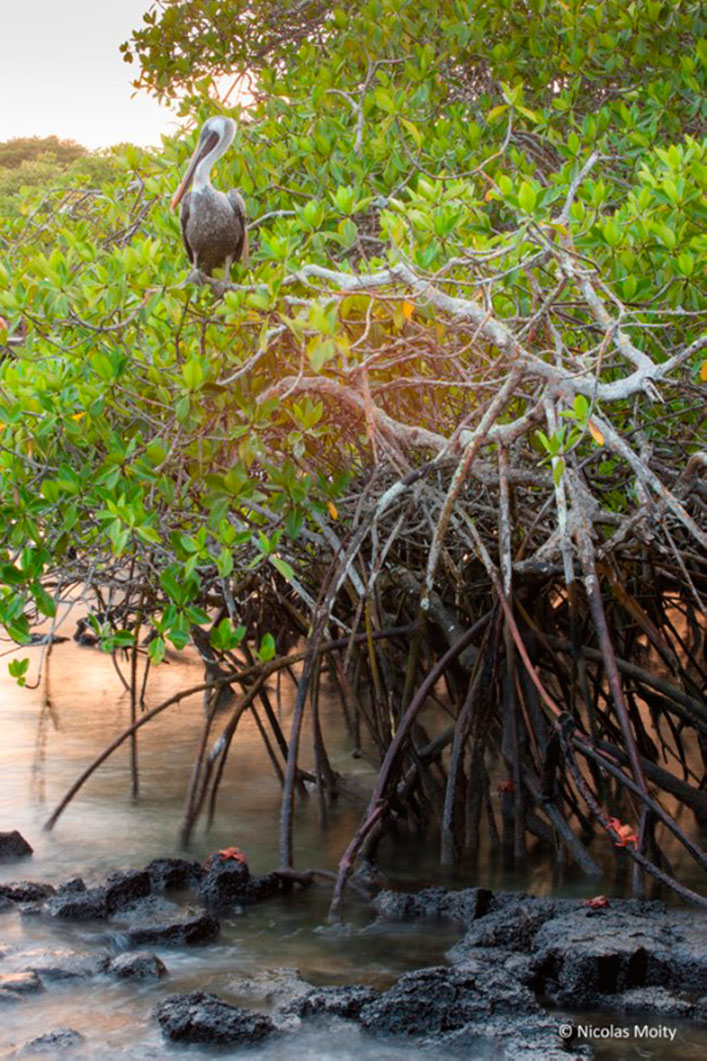 Red rock crabs and a brown pelican in a mangrove stand in the Galapagos.