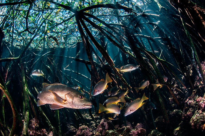 Snappers between submerged mangrove roots in the Galapagos Archipelago.