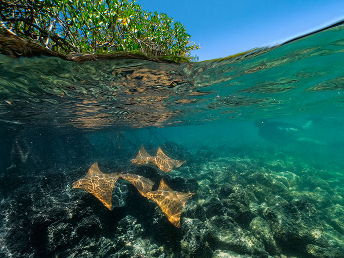 Snorkelling on the Galapagos mangrove bays with Golden Rays.
