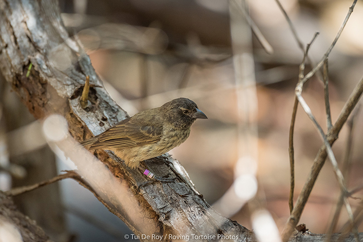 The Critically Endangered Mangrove Finch:  A New Conservation Strategy in Galapagos