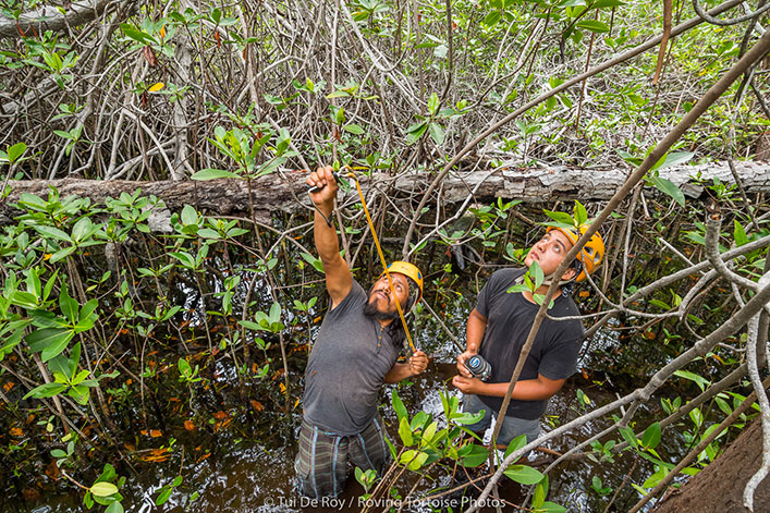 Jorge Jiménez and David Auz throwing weights to be able to attach ropes and cccess the nest found high up in the mangrove.