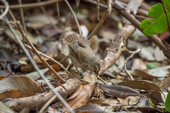 There are approximately 20 reproductive pairs of mangrove finch in the world. Help us conserve them.