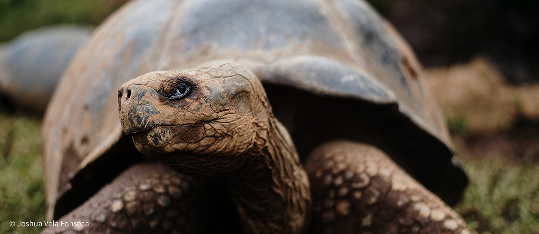 Galapagos tortoise from Alcedo Volcano.