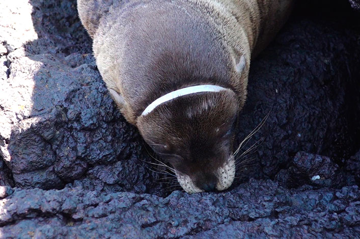 Sea lion with a plastic ring surrounding its head while resting on the beach in Galapagos