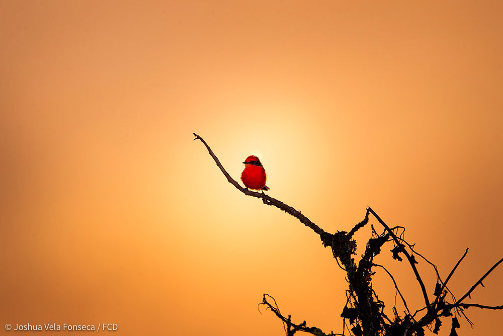 The mist overlayed the sunset of a Vermillion Flycatcher's background